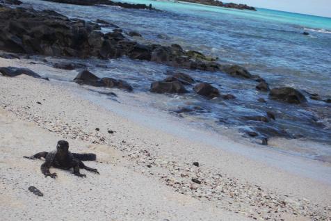 Iguana marina
